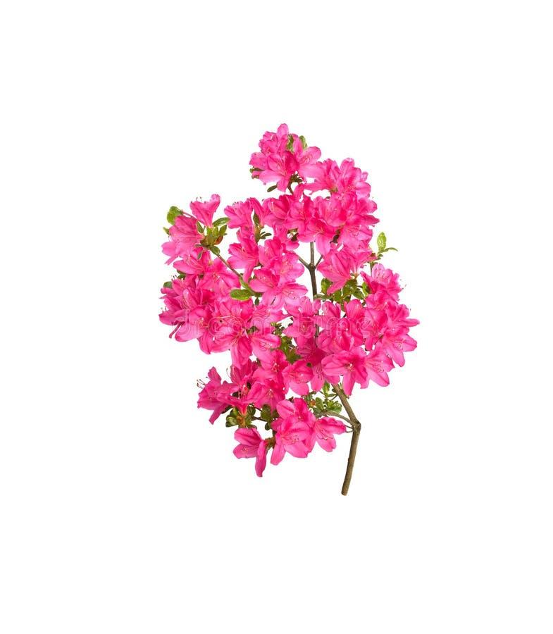 Roze azaleabloemen royalty-vrije stock foto's