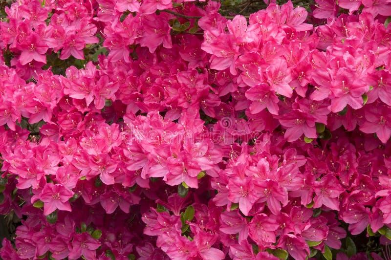 Roze azaleabloemen royalty-vrije stock fotografie