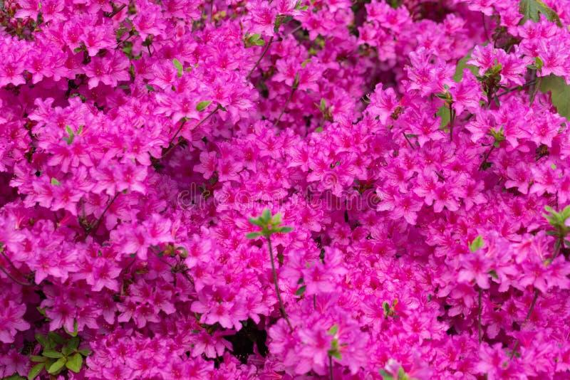 Roze azaleabloesem Achtergrondhoogtepunt van bloemen stock fotografie