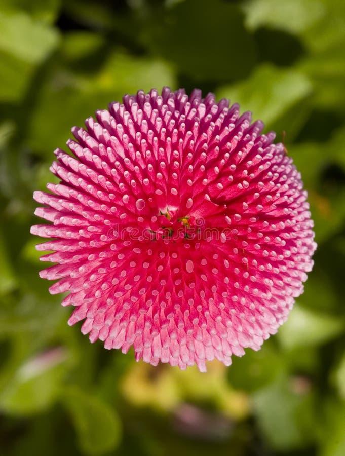 Roze Bellis Daisy royalty-vrije stock fotografie