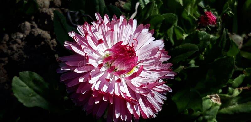 Roze bellisperennis royalty-vrije stock afbeeldingen