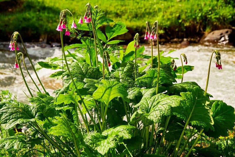 Roze bergwildflowers royalty-vrije stock afbeeldingen