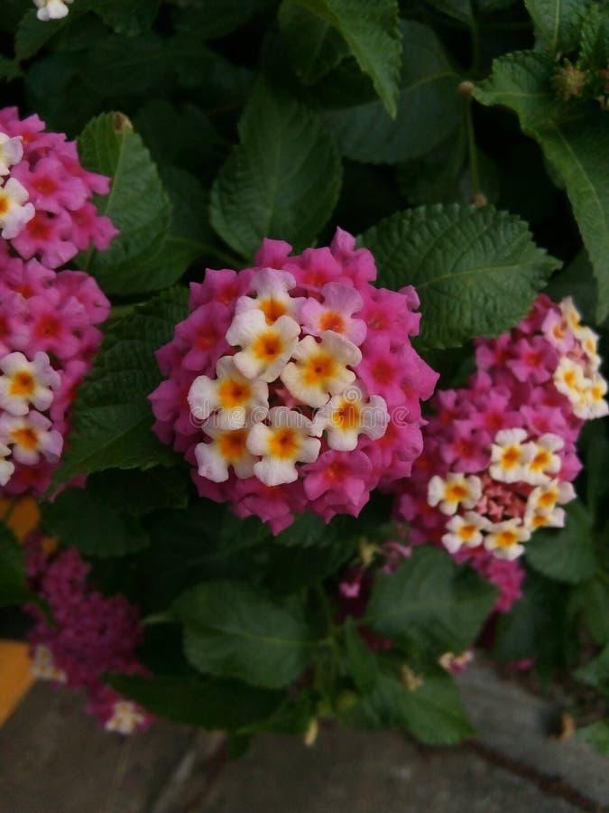 Roze bloei stock afbeeldingen