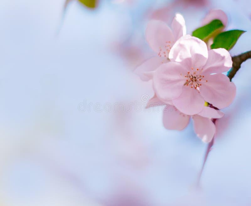 Roze bloei van appelboom met vage blauwe achtergrond De lentebloemen op de zonnige dag van Pasen Gestemde foto Ruimte voor tekst stock afbeelding
