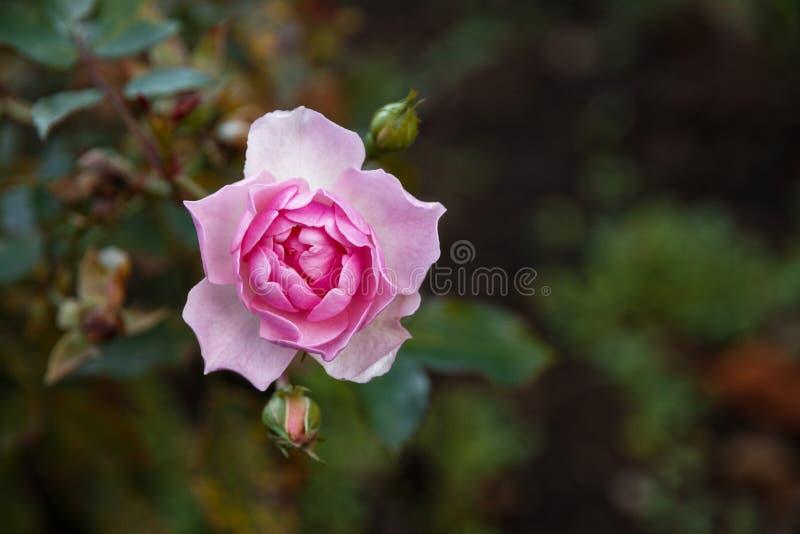 Roze bloeien nam en knoppen op een struik toe royalty-vrije stock afbeeldingen