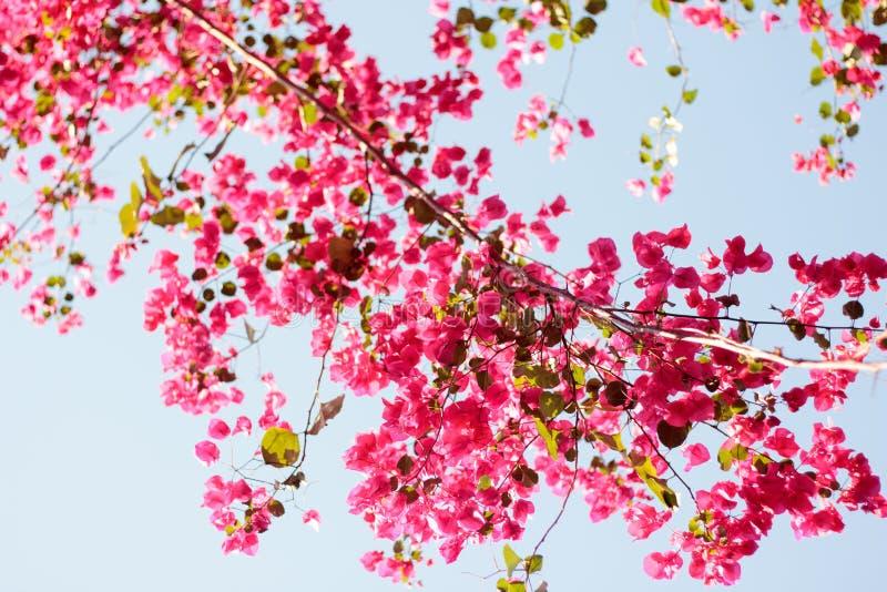 Roze bloeiende bougainvillea tegen de blauwe hemel royalty-vrije stock fotografie