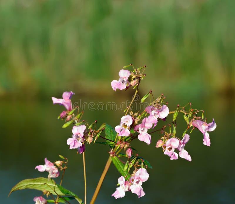 Roze bloeiende Himalayan-Balsem van het sluiten royalty-vrije stock foto