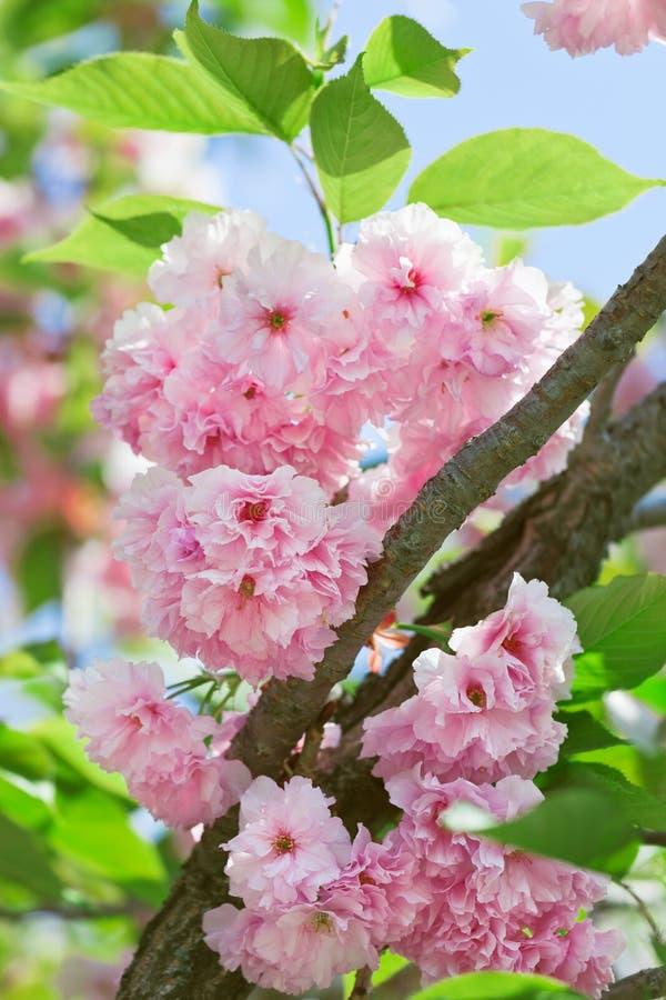 Roze bloeiende Japanse kersen (sakura) bloesem stock foto