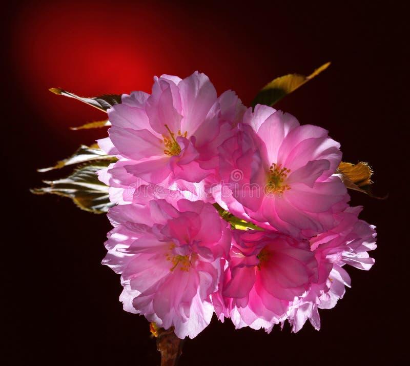 Roze bloeiende Japanse kersen (sakura) bloesem royalty-vrije stock fotografie