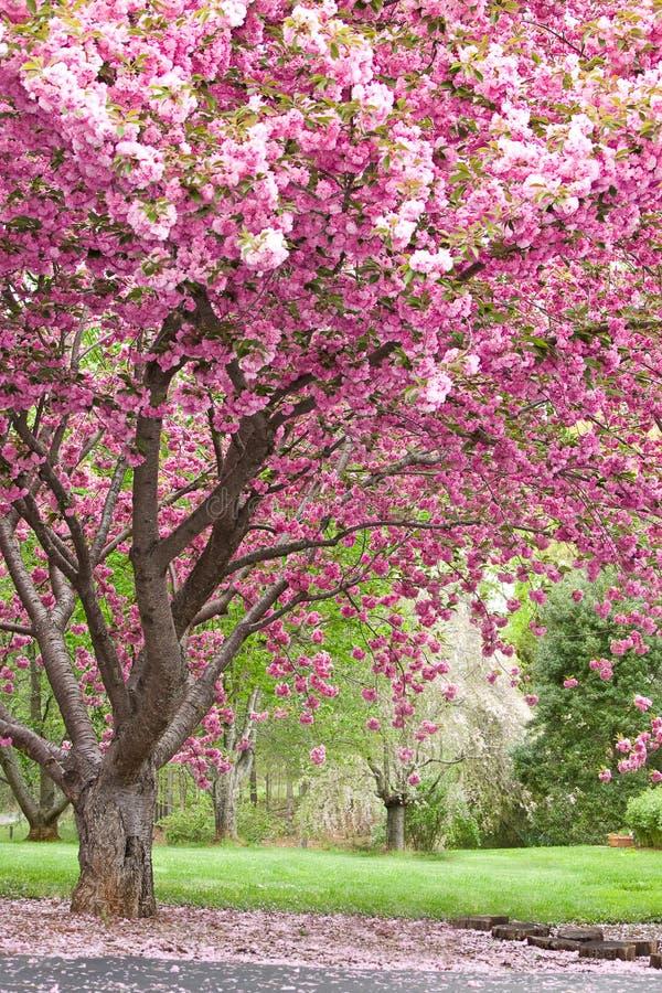 Roze bloeiende kersenbomen royalty-vrije stock foto's