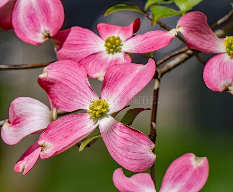 Roze Bloeiende Kornoeljeboom - Cornus Florida royalty-vrije stock afbeeldingen