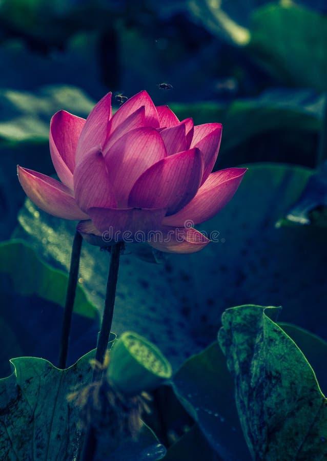 Roze bloeiende lotusbloembloem stock foto's