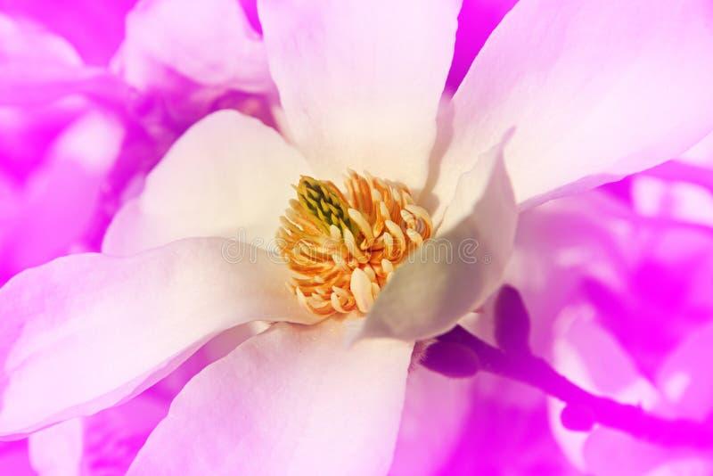 Roze bloeiende magnoliabloem royalty-vrije stock fotografie