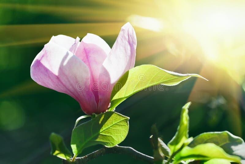 Roze bloeiende magnoliabloem in zonnige de lentedag stock foto's