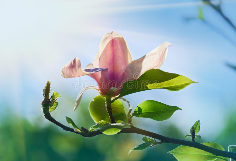 Roze bloeiende magnoliabloem in zonnige de lentedag royalty-vrije stock afbeelding