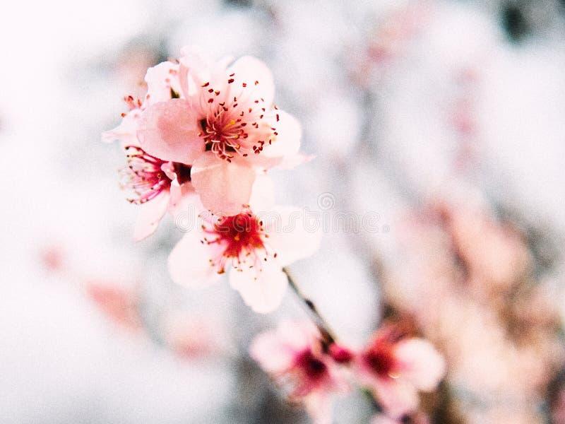 Roze, bloeiende perzikbloesem na een zachte de lenteregen royalty-vrije stock fotografie