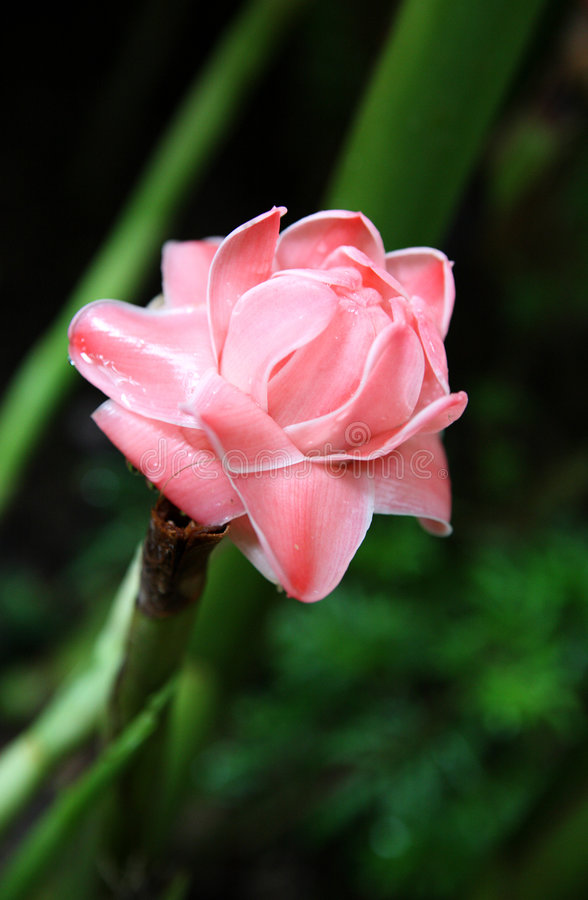 Roze bloem stock foto