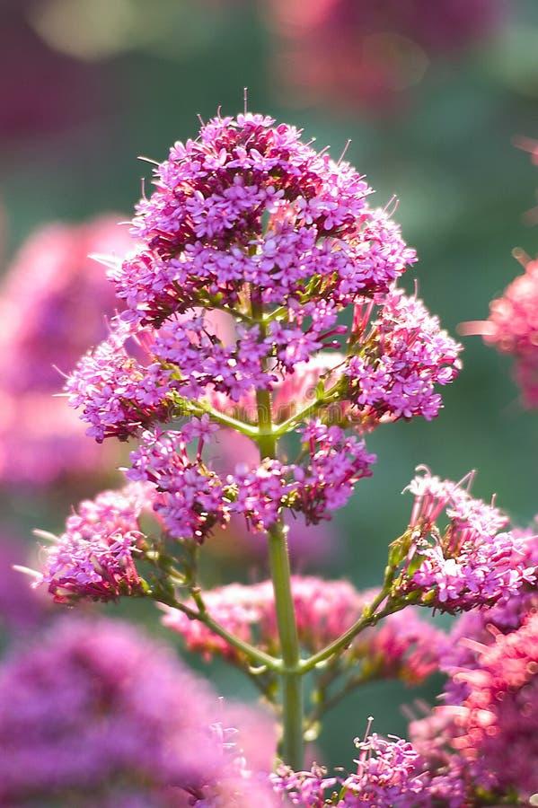 Download Roze Bloem stock afbeelding. Afbeelding bestaande uit vegetatie - 34761