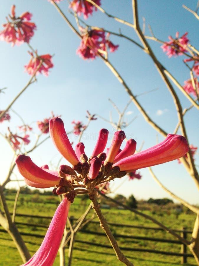 Roze Bloem stock afbeeldingen