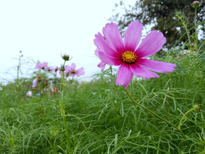 Roze Bloem royalty-vrije stock foto
