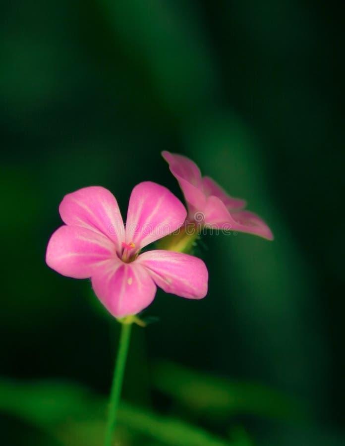Roze bloem in aard met wonderfull diepe achtergrond royalty-vrije stock afbeeldingen