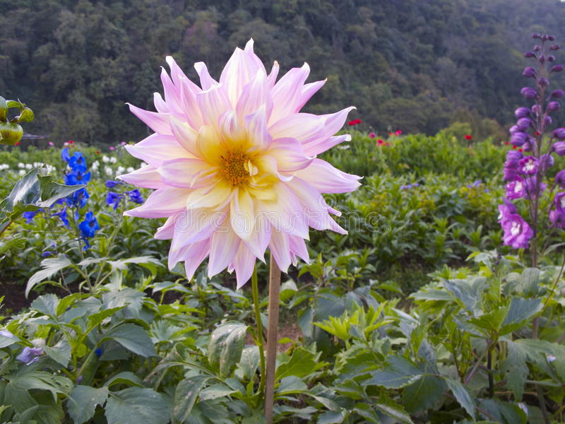 Roze Bloem, Ang Khang Thailand stock afbeeldingen