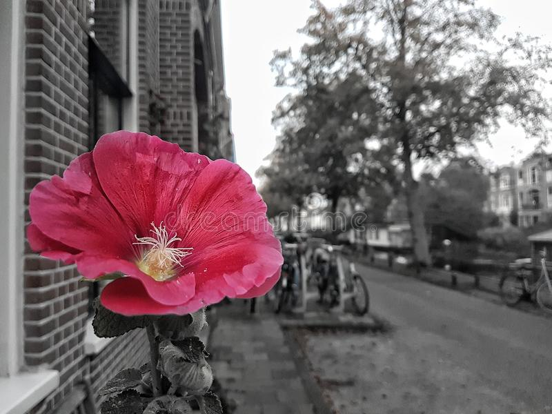 Roze bloem colorsplash stock afbeelding
