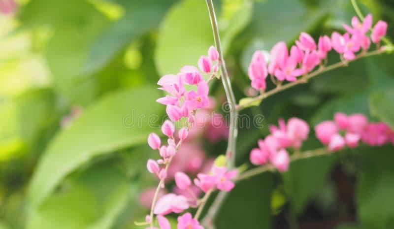 Roze bloem Coral Vine, Mexicaanse Klimplant, Ketting van leptopushaak van Liefdeantigonon en Arn-mooie naam weinig buquet vaag va stock foto