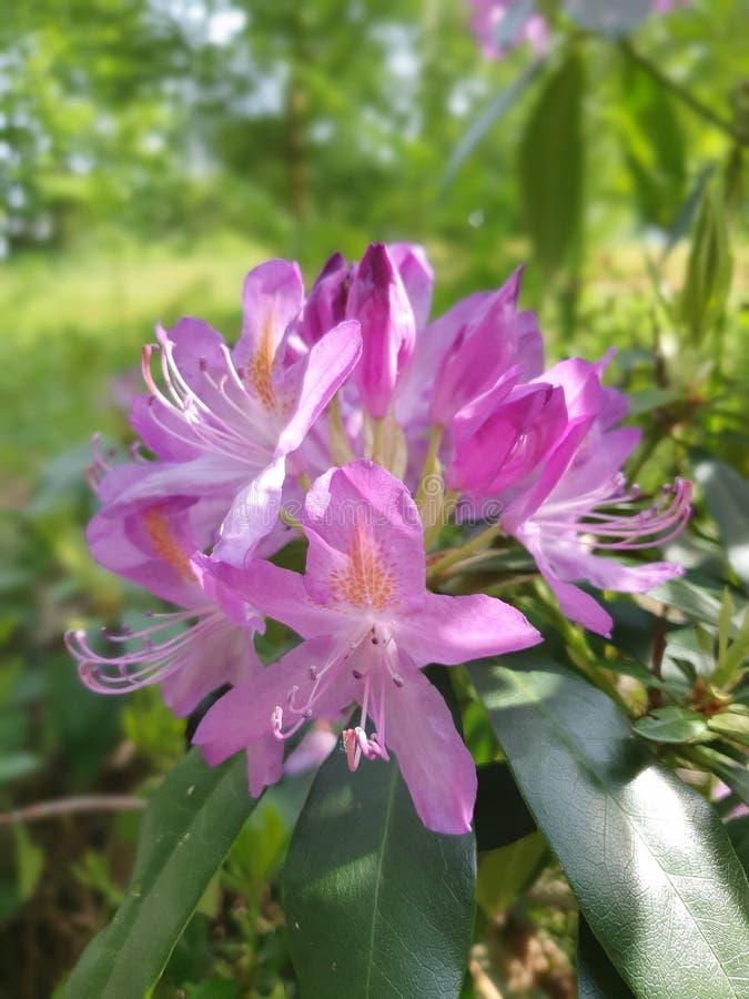 Roze bloem in de tuin stock afbeeldingen
