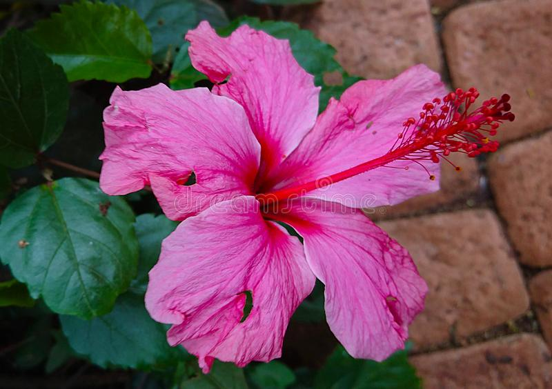 Roze bloem dichte omhooggaand in de tuin royalty-vrije stock afbeelding