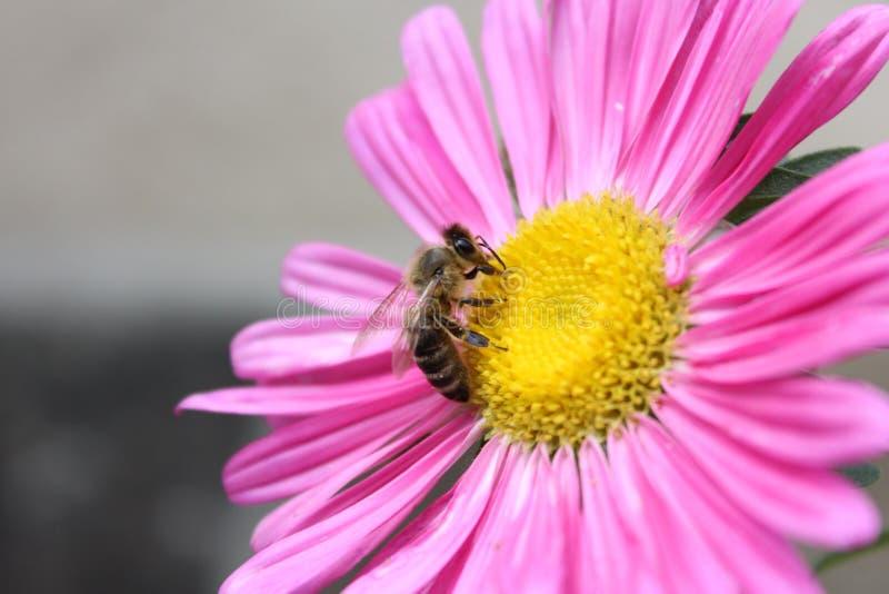 Roze bloem dichte omhooggaand met bij op het royalty-vrije stock foto