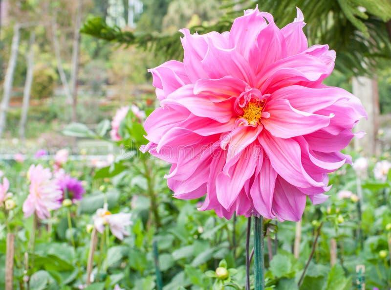 Roze bloem in doi inthanon stock foto