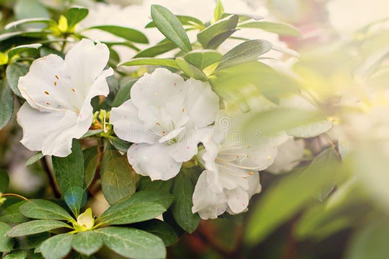 - roze bloem - groene bladeren Witte azalea stock afbeelding