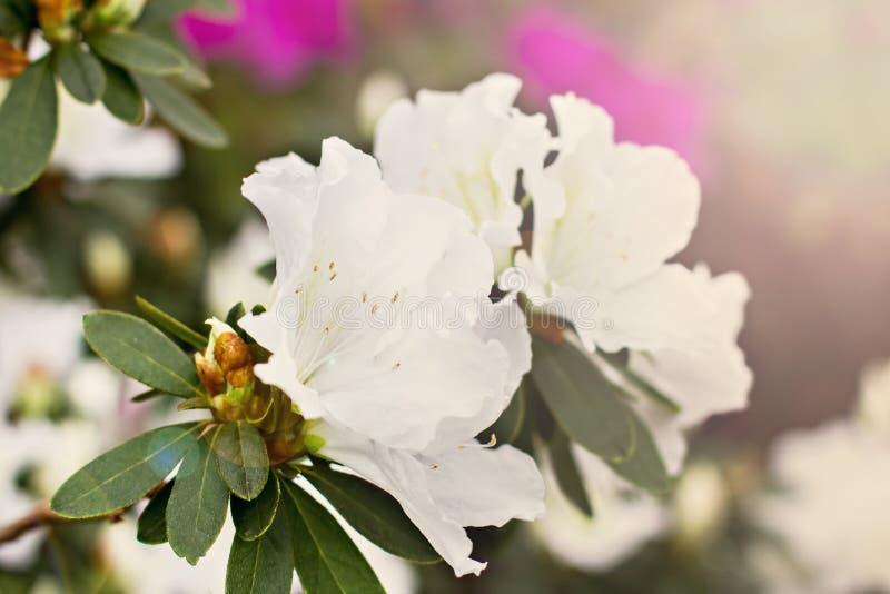 - roze bloem - groene bladeren Witte azalea royalty-vrije stock afbeelding