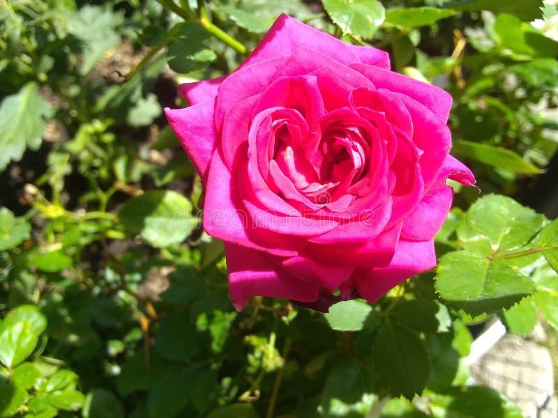 Roze bloem medio waaier royalty-vrije stock foto