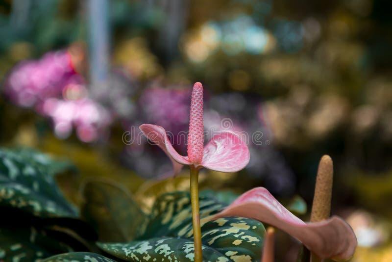 Roze bloem met groene bladeren in Singapore royalty-vrije stock foto's
