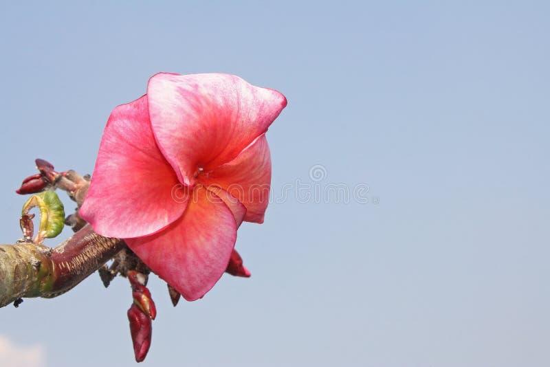 Roze bloem op blauwe hemelachtergrond stock foto