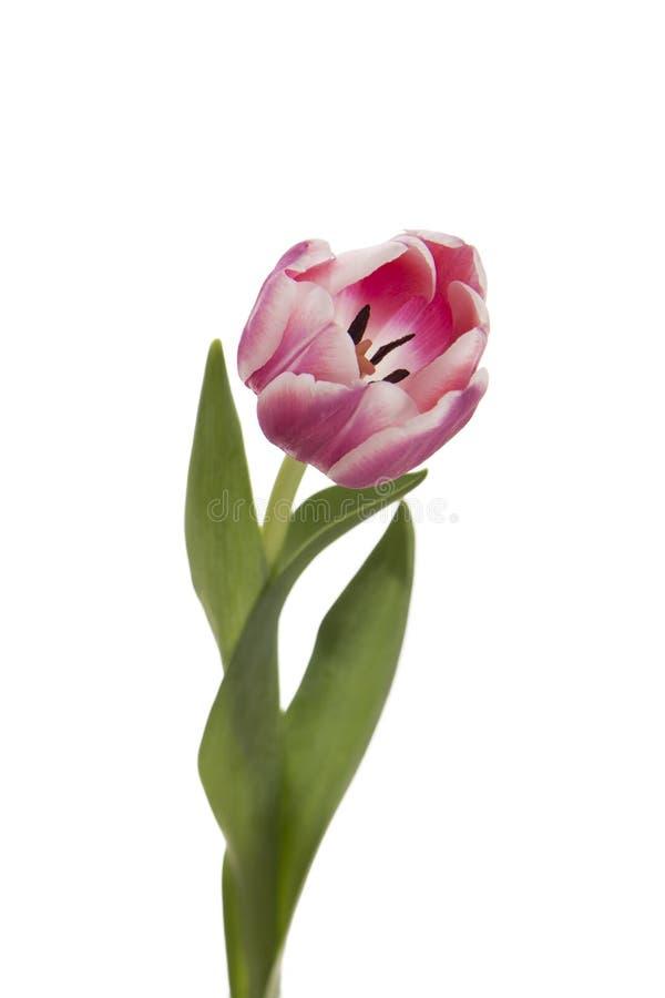 Roze bloem op een witte achtergrond? stock foto
