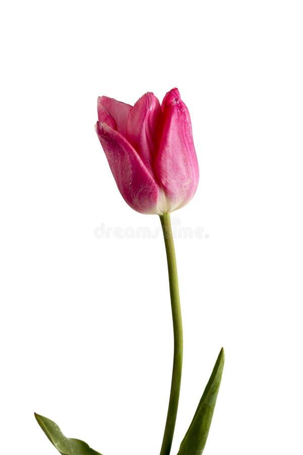 Roze bloem op een witte achtergrond? stock fotografie