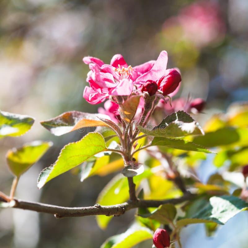 Roze bloem op tot bloei komende appelboom dicht omhoog royalty-vrije stock afbeelding