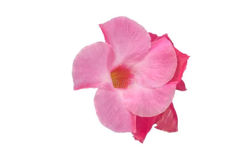 Roze bloem op wit royalty-vrije stock foto