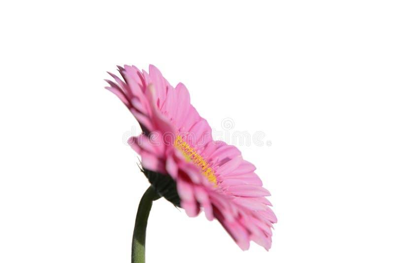 Roze bloem op witte achtergrond stock afbeelding