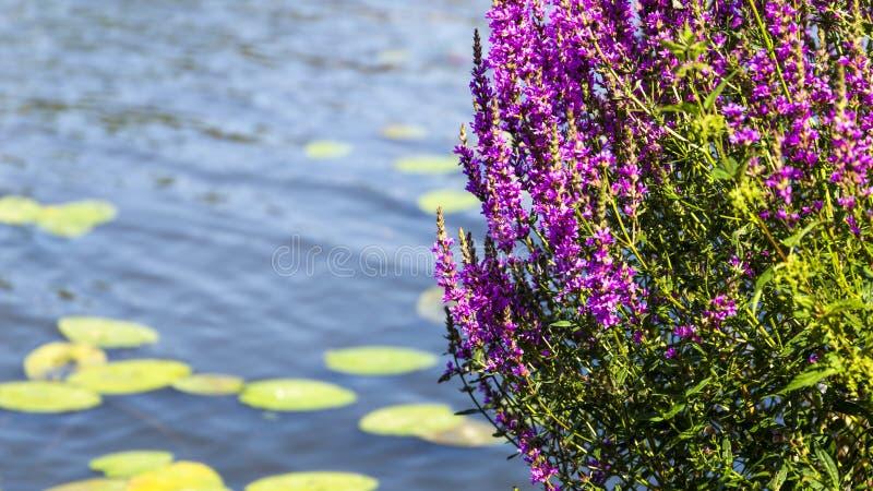 Roze bloem over water royalty-vrije stock foto's