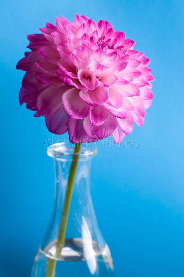 Roze bloem in vaas op blauw royalty-vrije stock foto