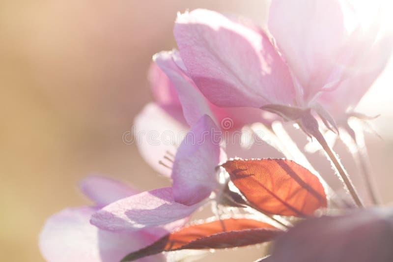 Roze bloem van appelboom royalty-vrije stock afbeeldingen