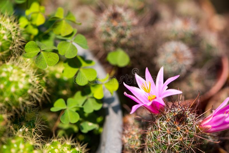 roze bloem van cactus stock afbeelding