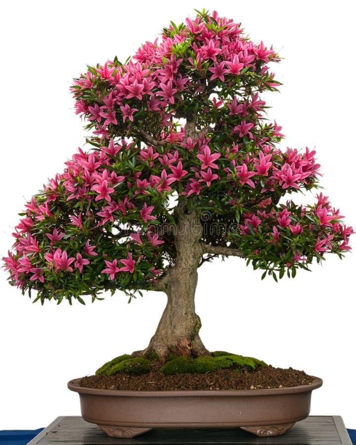 Roze bloem van een boom van de azaleabonsai royalty-vrije stock foto
