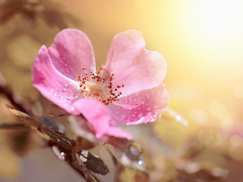 Roze bloem van een dogrose stock afbeeldingen