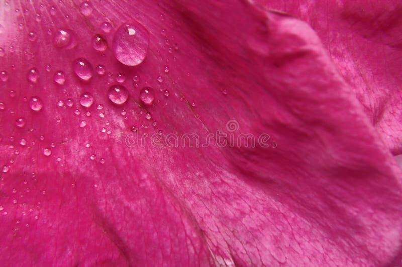 Roze bloemblaadje met dauw stock afbeelding
