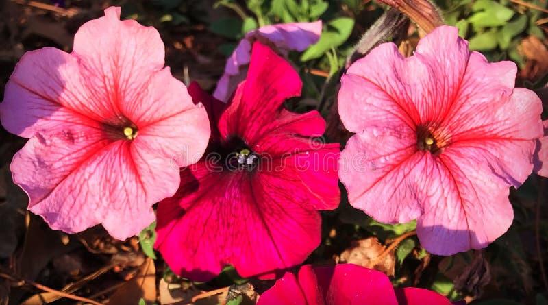 Roze Bloemblaadjeperfectie royalty-vrije stock foto's